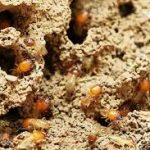 Find Out Where Does Termite Come From